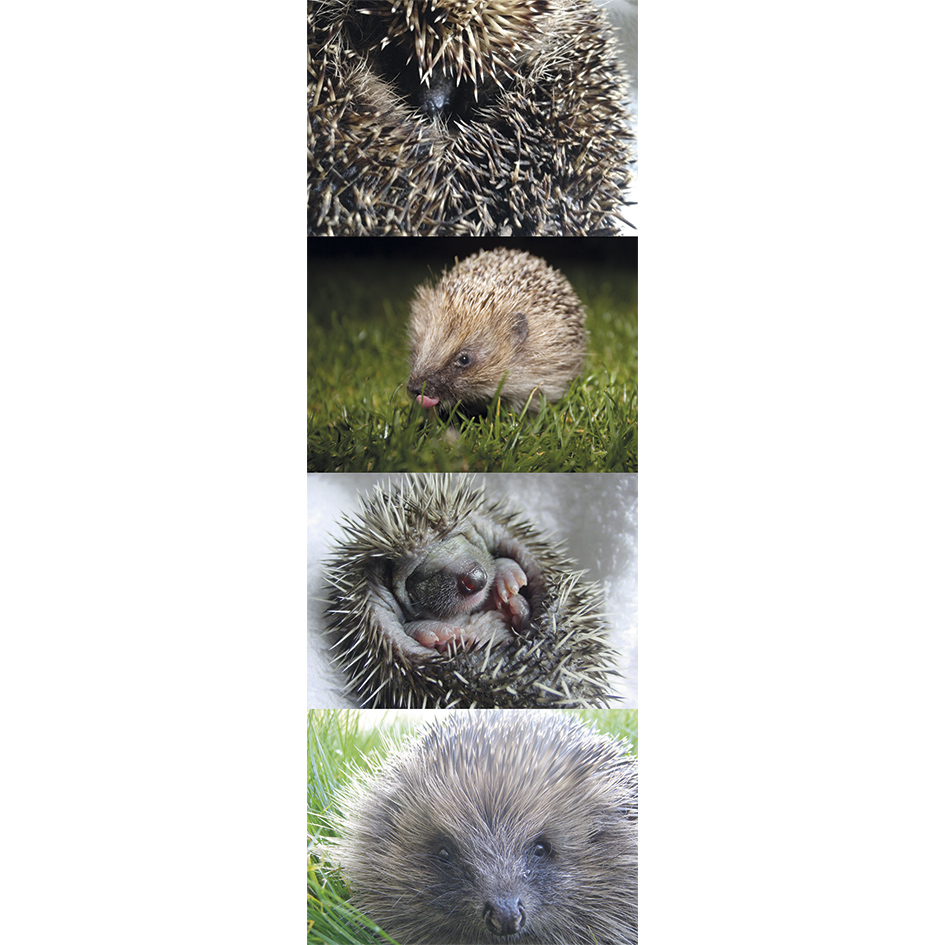 Hedgehog Postcards